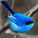 Profile photo of Blue Bird